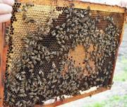Пчелопакеты,  карпатка